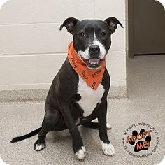 Urgent! I am at a full, high kill shelter in Troy, OH - Labrador Retriever/Pit Bull Terrier Mix. Meet Champ, a dog for adoption. http://www.adoptapet.com/pet/16797823-troy-ohio-labrador-retriever-mix