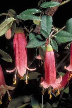 Correa 'Dusky Bells'...a small beautiful shrub