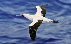 masked booby bird caribbean - Google Search