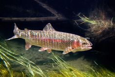Rainbow Trout | Engbretson Underwater Photography