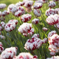 Tulip Double Late 'Carnaval De Nice'