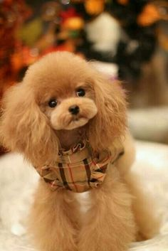 Poodle owners all over the world are coming up with new ways to make their pets beautiful. Take a look the best poodle haircuts for your friend. Cute Puppies, Cute Dogs, Dogs And Puppies, Doggies, Poodle Grooming, Pet Grooming, Poodle Haircut, Funny Animals, Cute Animals