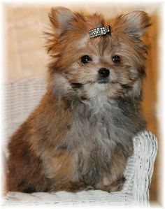 My first dog looked exactly like this. Her name was Chance and she was a yorkie pomeranian mix. She was the best.
