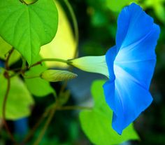 Morning Glories...love this color. Planted them along the horrible chainlink fence...ought to be a nice distraction!