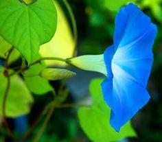 blue morning glory :)
