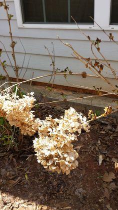Pruning Hydrangeas   Hometalk