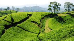 Find Tea Plantation Taken Bandung Indonesia stock images in HD and millions of other royalty-free stock photos, illustrations and vectors in the Shutterstock collection. Java, Bandung City, Places To Travel, Places To Visit, Bogor, Plantation, Vacation Destinations, Best Hotels, Tourism