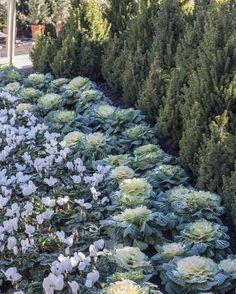 Winter garden perfection.⠀ #rogersgardens #bringingbeautyintoyourhomeandgarden #ornamentalkale #cyclamen #wintergarden #gardens #gardening #nature #natureart #instagood #love