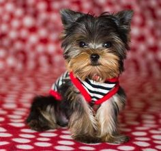 THIS YORKIE WAS FOR SALE AND NOW LIVES WITH HIS NEW OWNERS