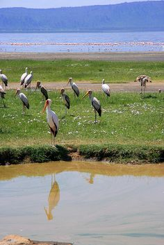 Cigognes (Ciconias) - Rift Valley, Kenya