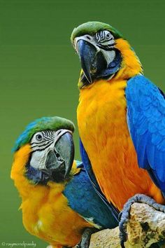 A pair of blue and gold macaws.