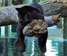 Más tamaños | black jaguar 2728 | Flickr: ¡Intercambio de fotos!
