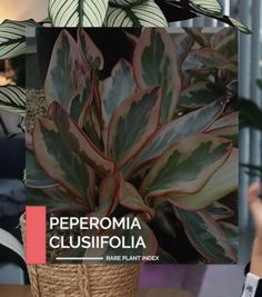 Peperomia Rare Plants, Plant Leaves