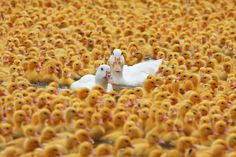 duck farm, Tainan #Taiwan 台南 歸仁