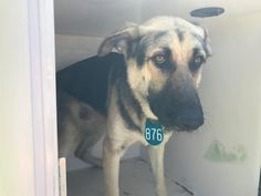 UNKNOWN FATE 04/24/17 - PLEASE HURRY!!!! PLEASE HURRY!! - EXTREMELY URGENT - HOUSTON -This DOG - ID#A481992 I am a male, black and brown German Shepherd Dog mix. My age is unknown. I have been at the shelter since Apr 24, 2017. This information was refreshed 21 minutes ago and may not represent all of the animals at the Harris County Public Health and Environmental Services.