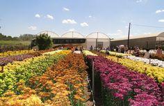 Tudo o que você precisa saber sobre a Expoflora em Holambra