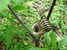 bear paw succulent | Kangaroo Paw (Anigozanthos manglesii, Anigozanthos flavidus ...