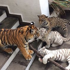 White Tigers are my favorite ❤️ #cubs.