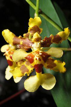 rare oncidium orchid species with names | Oncidium wentworthianum
