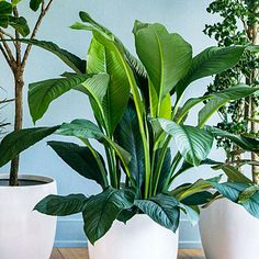 The jungle queen - Spathiphyllum'Sensation' Foliage: Lush 2-foot-long leaves of deep green are dramatic all year; luxuriant white flowers in Spring. Plant: A peace lily, it can reach 4 feet tall. Light: Low to medium.