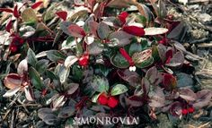 Creeping Wintergreen - Monrovia - Creeping Wintergreen