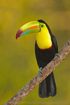 """""""Keel-billed Toucan"""" is an award winning bird that lives in most rainforests. The toucan is also known as the """"Rainbow Toucan"""" because of all the unique colors on their bills. The toucan is primarily a South American bird. Pretty Birds, Beautiful Birds, Animals Beautiful, Cute Animals, Kinds Of Birds, All Birds, Love Birds, Exotic Birds, Colorful Birds"""