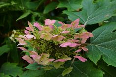 Eikenbladhortensia (Hydrangea quercifolia) Sony A65 met 18-55mm standaard lens