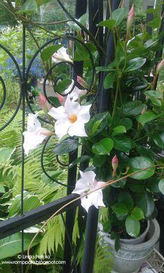 Maljaköynnös Romppala - Lindan pihalla: Sadepäivä cottage gardenissa