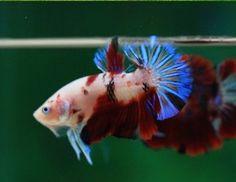 Betta-Fish-Beautiful-Koi-Halfmoon-Plakat-Male-Imported