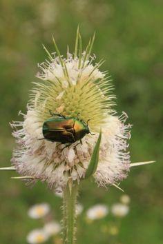 beetle bug cutleaf