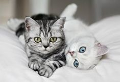 I will have that stripped kitty one day - American Shorthair Kitty <3