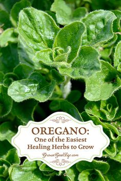 Oregano: One the the Easiest Healing Herbs to Grow | Grow a Good Life