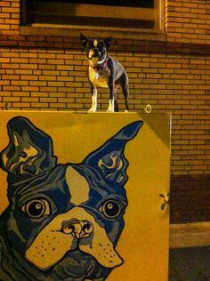 Pickle, Boston Terrier  sassy pants