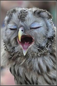 our-amazing-world:  So tired,owls Amazing World beautiful amazing