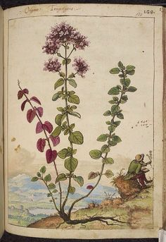 Origanum, from De Materia Medica, a work on herbal medicine by Pedanius Dioscorides, 16th century edition. It depicts a wide range of plants against a backdrop of landscapes, often featuring populated scenes. Watercolour
