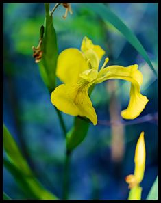 #iris #kurjenmiekka #kesä #kukka #luonto #nature #flower #yellow #painting #green and blue #Suomi #Finland #pure #puhdas luonto #simplicity #bokeh #depth of field #photography #valokuvaus