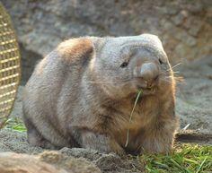 ごはんを食べてにっこりごきげんウォンバット。ヒロキくんはこんな感じ。 今は暑くてお部屋の中ですうすう眠る姿を見ることが多くなりました。 2014/1 撮影 Cute Funny Animals, Funny Animal Pictures, Cute Baby Animals, Cute Creatures, Beautiful Creatures, Animals Beautiful, Zoo Animals, Animals And Pets, Australia