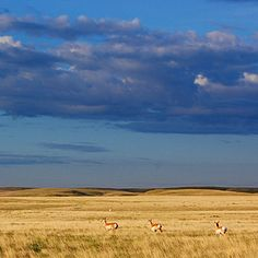 Northern Montana Prairies - National Treaures in the West - Sunset Scenic Photography, Night Photography, Landscape Photography, Montana Landscape, Montana Homes, Big Sky Country, Beautiful World, Beautiful Scenery, National Treasure