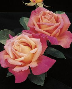 JP: Chicago Peace - Blend Phlox Pink Canary Yellow Hybrid Tea Roses