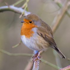 Robin - GH3 ISO 3200 by Maria-H, via Flickr
