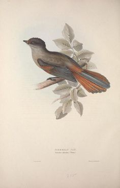 Siberian Jay c.1837 (The Birds of Europe. Gould, John. Biodiversity Heritage Library)