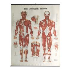 Dermatomes chart 20x26 doctors anatomy posters pinterest vintage mid century anatomical chart muscular system publicscrutiny Image collections
