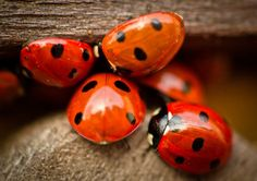 love lady bugs!!  and they're so great in your garden :)
