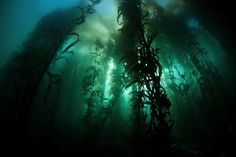 Ethan Daniels Solid-Faced Canvas Print Wall Art Print entitled Giant kelp (Macrocystis pyrifera) grows off the coast of California Kelp Forest, California Coast, Natural Health Remedies, Living A Healthy Life, Ways Of Seeing, Find Art, Northern Lights, National Parks, The Incredibles