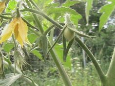 Possible Roma Tomatoes