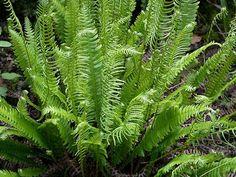 evergreen,  Blechnum.spicant