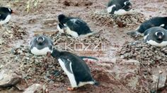 video of gentoo penguin making best. - Video of colony of penguins while one making nest with stones.