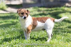 Oliver, Adoptable Jack Russell Terrier   Georgia Jack Russell Rescue, Adoption & Sanctuary