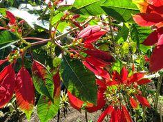 Poinsettia - St Lucia