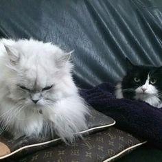 懐かしい写メ… 我が家の2トップ😁👍🏻 #こと#ビット#チンチラシルバー#ペルシャ#今は亡き#永遠に愛してる#愛猫#猫大好き #多頭飼い #にゃんすたぐらむ #cat #ネコ#ねこ#猫#Love